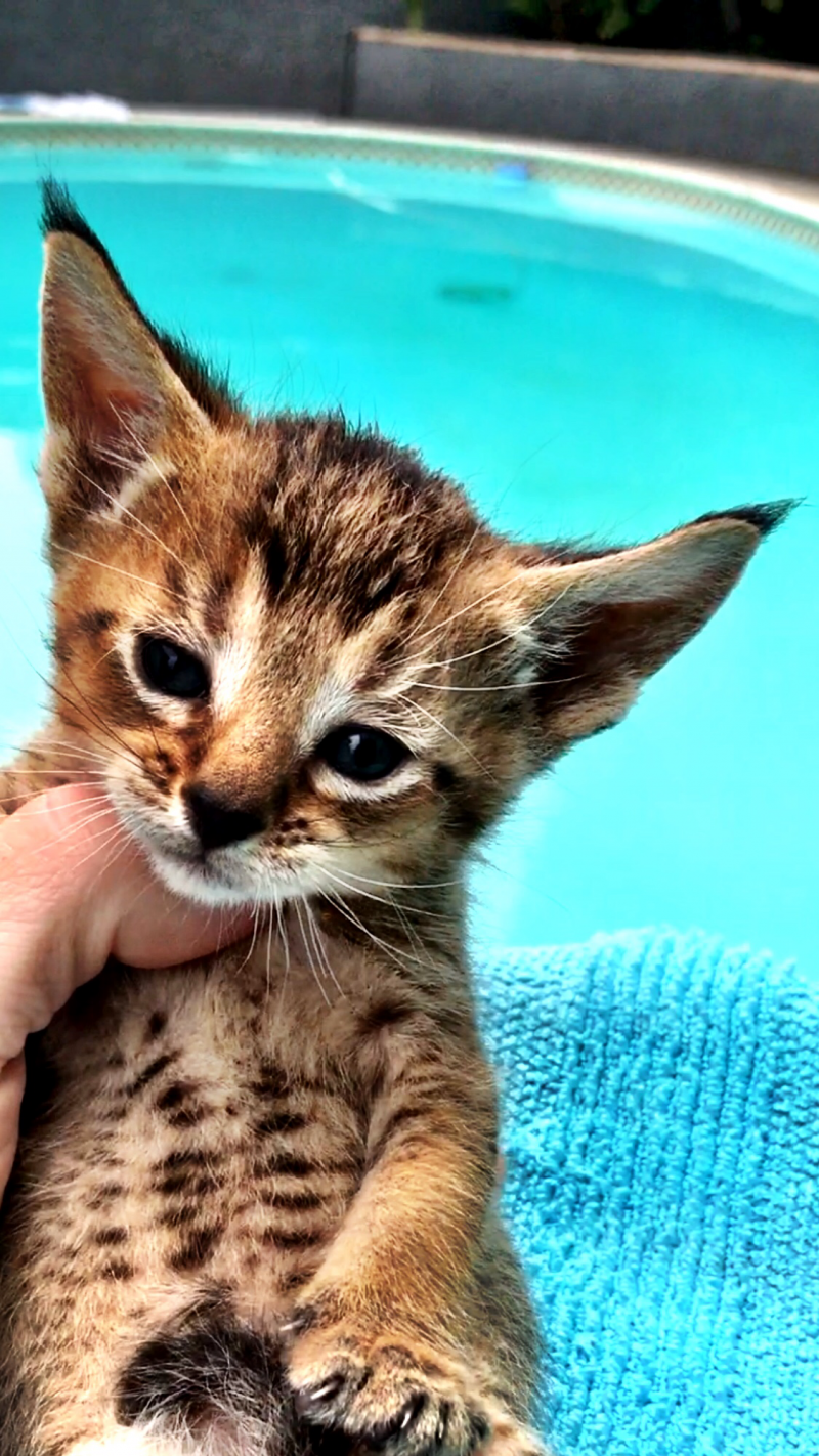 Domestic Wild Cats Summer 2018 July August Special 50