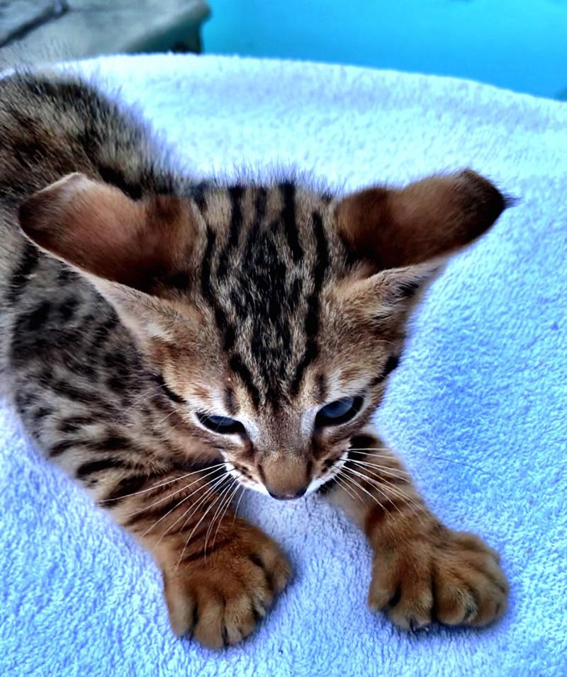Domestic Wild Cats January 2020 Big Strong Wild